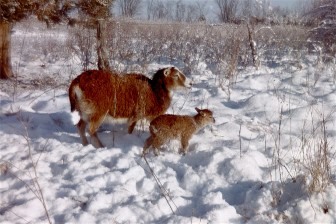 soay in snow